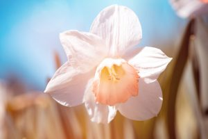 Narciso, Primavera, Plantas, Jardines